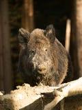 Wildes Schwein Euroasian - Sus scrofa - im Sommerwald Lizenzfreie Stockbilder