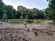 Wildes Schwein im Herbstwald stockbild