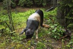 Wildes Schweinportrait Stockfotos