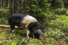 Wildes Schweinportrait Stockfoto