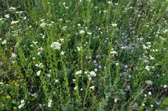 Wildes Sommergras und -blumen Lizenzfreies Stockbild
