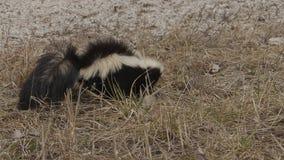 Wildes Stinktier, das für Nahrung herumsucht stock video