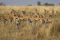 Wildes Tier in Afrika, serengeti Nationalpark stockbild