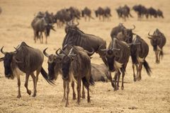 Wildes Tier in Afrika, serengeti Nationalpark lizenzfreie stockbilder