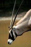 Wildes Tier der Antilope Lizenzfreie Stockfotos