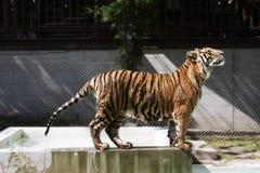 Wildes Tier des Bengal-Tigerausdrucks lizenzfreies stockbild