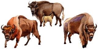 Wildes Tier des exotischen Bisons in einer Aquarellart lokalisiert lizenzfreie abbildung