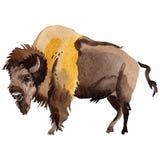 Wildes Tier des exotischen Bisons in einer Aquarellart lokalisiert stock abbildung