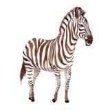 Wildes Tier des exotischen Zebras in einer Aquarellart lokalisiert stock abbildung