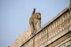 wildes Tier ein Affe ein Makaken in Indien Lizenzfreies Stockfoto