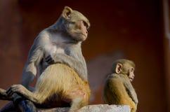 wildes Tier ein Affe ein Makaken in Indien Stockbilder