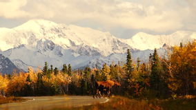 Wildes Tier-Elch-Kuh-Kalb-Straßenüberquerung Alaska-Ketten-Berg- stock video
