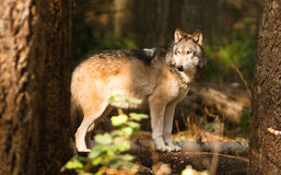 Wildes Tier Wolf Canine Predator Alpha Nordamerikaners Timberwolf Lizenzfreies Stockbild