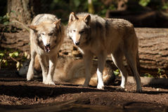 Wildes Tier-Wolf Pair Standing Playing North-Amerikaner-wild lebende Tiere Stockfotos