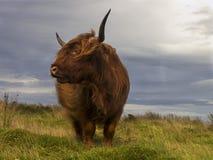 Wildes Vieh Lizenzfreie Stockfotografie