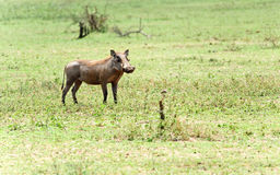 Wildes Warzenschwein stockfoto