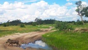 Wildes waterhog in der Reinigung der Reserve Botswana-wild lebender Tiere lizenzfreies stockbild