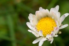 Wildes weißes Gänseblümchen im Frühjahr Stockfotos