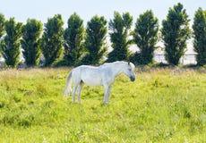 Wildes weißes Pferd Lizenzfreie Stockfotografie