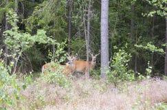 Wildes Weiß angebundene Rotwild im Wald Lizenzfreies Stockfoto