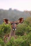 Wildes weibliches kudu Stockfotografie