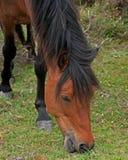 Wildes weiden lassendes Pony Stockfoto
