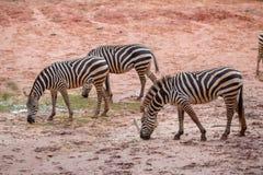 Wildes Zebra Lizenzfreie Stockfotos