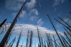 Wildfire – Burned tree trunks in forest in USA with blue sky. And clouds Royalty Free Stock Photo