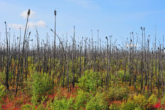 Wildfire. Forest recovering from wildfire near alaskan highway Royalty Free Stock Photo