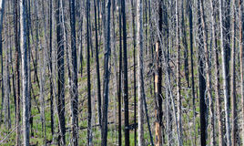 Wildfire. The devastation in the forest after a wildfire Stock Photography