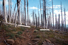 Wildfire – Burned trees in forest in USA Stock Image