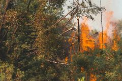 Wildfire burning tree in red and orange color at the day. Forest Fire royalty free stock image