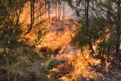 Wildfire in the forest. Burning grass and trees during wildfire in the forest Stock Image
