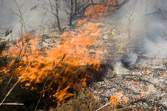 Wildfire in the forest. Burning grass and trees during wildfire in the forest Stock Photography