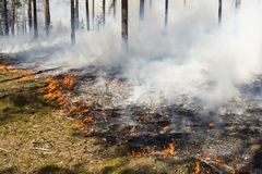 Wildfire in the forest. Burning grass and trees during wildfire in the forest Royalty Free Stock Photo