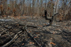 After wildfire in the forest. Stock Images