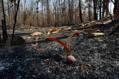 After wildfire in the forest. Stock Photography