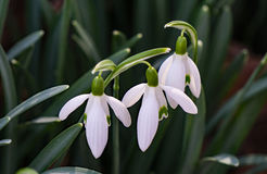 Wildflower – Snowdrops Galanthus nivalis Royalty Free Stock Images