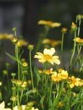 wildflower κίτρινος Στοκ Εικόνες