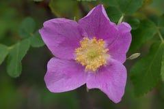 Wildflower макроса глубоко - розовый в леднике Стоковая Фотография