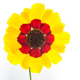 Wildflower на белизне Стоковое фото RF