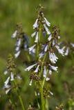 wildflower шалфея lyreleaf Алабамы Стоковые Фото