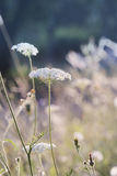 Wildflower шнурка ферзя Энн Стоковое фото RF