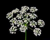 Wildflower шнурка ферзя Энн Стоковые Фото
