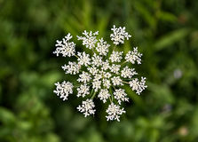 Wildflower шнурка ферзя Энн (carota моркови) Стоковые Изображения
