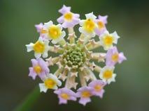 wildflower Стоковое Изображение