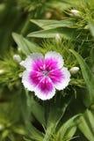 wildflower Image libre de droits