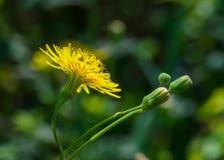 wildflower zdjęcia stock