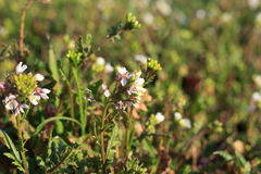 wildflower Στοκ φωτογραφία με δικαίωμα ελεύθερης χρήσης