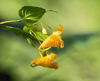 Wildflower alaranjado manchado do Jewelweed Foto de Stock